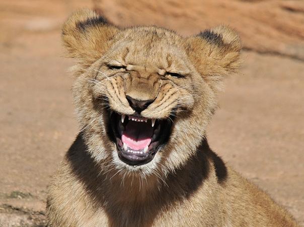 lion_1664797a