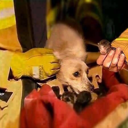 Australian dog rescues kittens