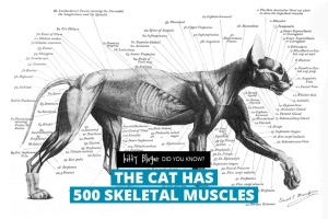 fact12-the-cat-has-500-skeletal-muscles